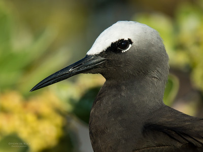 Black Noddy, Lady Elliot Island, QLD, Dec 2015-19