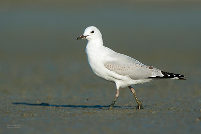 Black-billed Gull, imm, Miranda, NI, NZ, March 2015a