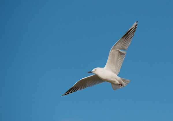 Black-billed Gull, Te Anau, SI, NZ, Jan 2013