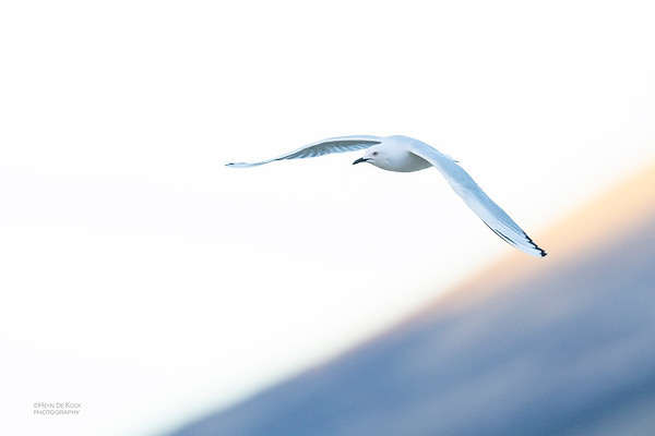 Black-billed Gull, Lake Pukaki, SI, NZ, Aug 2018-2
