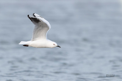 Black-billed Gull, Christchurch, SI, NZ, Sep 2018-3