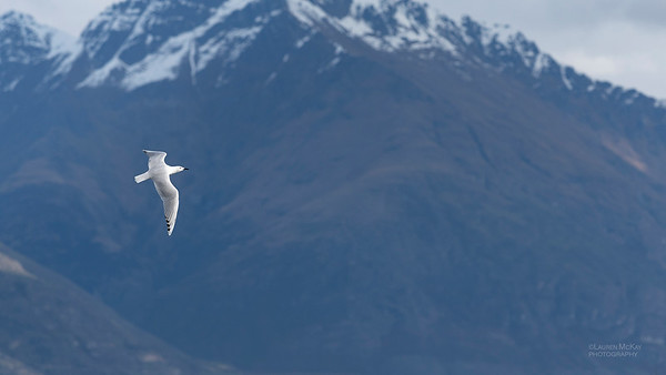 Black-billed Gull, Queenstown, SI, NZ, Aug 2018-1