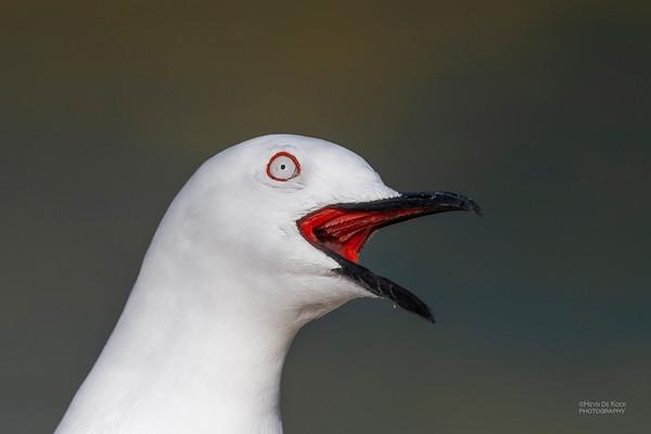 Black-billed Gull, Queenstown, SI, NZ, Aug 2018-6