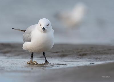 Black-billed Gull, Christchurch, SI, NZ, Sep 2018-2