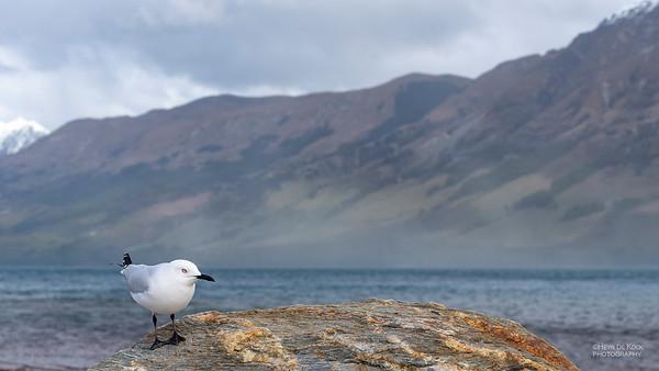 Black-billed Gull, Glenorchy, SI, NZ, Aug 2018-1
