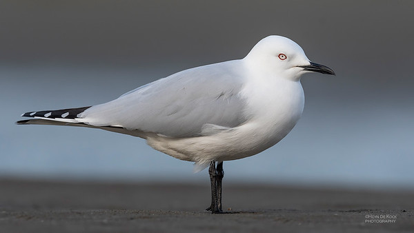 Black-billed Gull, Christchurch, SI, NZ, Sep 2018-1