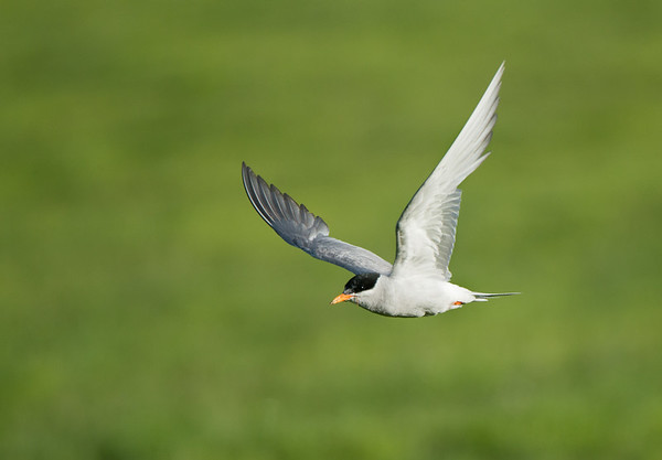 Black-fronted Tern, Twizel, SI, NZ, Jan 2013-1