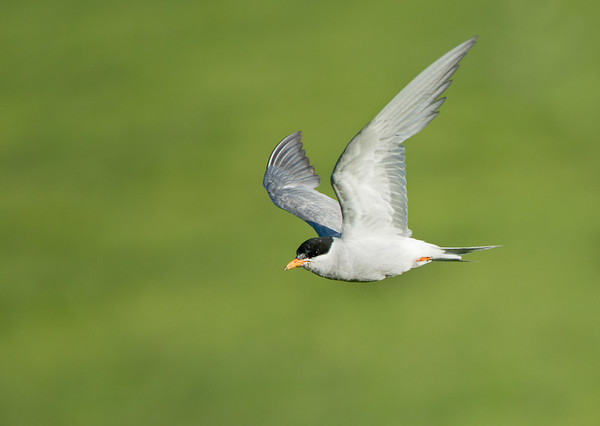 Black-fronted Tern, Twizel, SI, NZ, Jan 2013