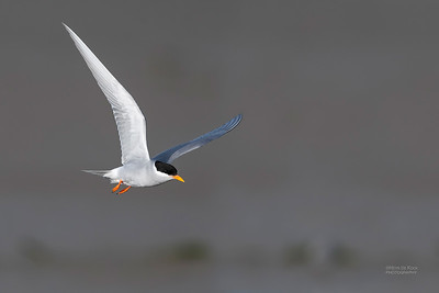 Black-fronted Tern, Christchurch, SI, NZ, Sep 2018-13