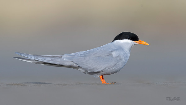 Black-fronted Tern, Christchurch, SI, NZ, Sep 2018-6