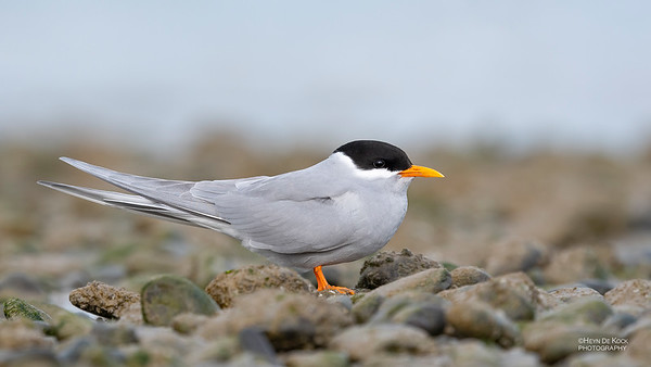 Black-fronted Tern, Christchurch, SI, NZ, Sep 2018-3