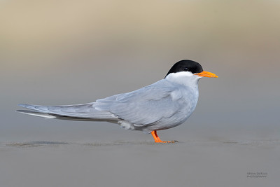 Black-fronted Tern, Christchurch, SI, NZ, Sep 2018-5