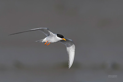 Black-fronted Tern, Christchurch, SI, NZ, Sep 2018-12
