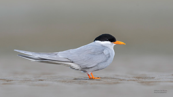 Black-fronted Tern, Christchurch, SI, NZ, Sep 2018-4