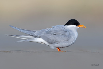 Black-fronted Tern, Christchurch, SI, NZ, Sep 2018-7