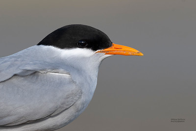 Black-fronted Tern, Christchurch, SI, NZ, Sep 2018-9