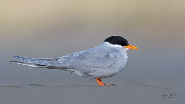 Black-fronted Tern, Christchurch, SI, NZ, Sep 2018-8