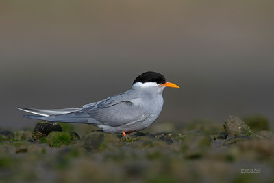 Black-fronted Tern, Christchurch, SI, NZ, Sep 2018-11