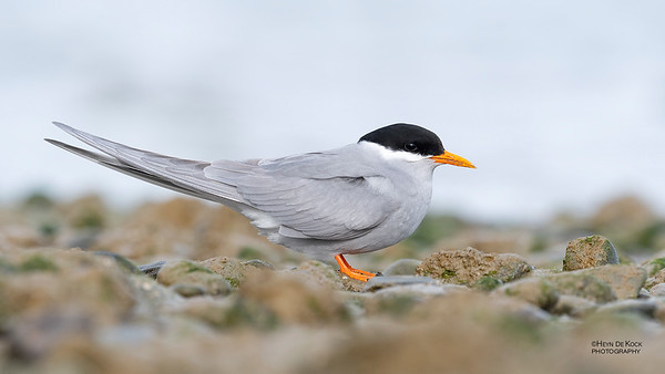 Black-fronted Tern, Christchurch, SI, NZ, Sep 2018-1