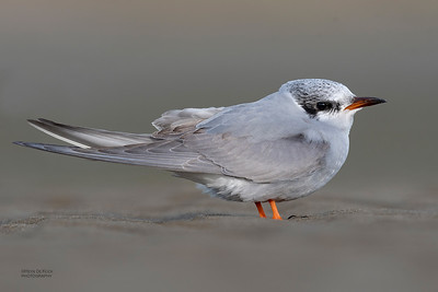 Black-fronted Tern, imm, Christchurch, SI, NZ, Sep 2018-1