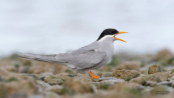 Black-fronted Tern, Christchurch, SI, NZ, Sep 2018-2