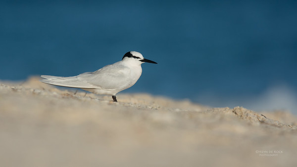 Black-naped Tern, Lady Elliot Island, QLD, Dec 2015-10