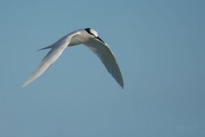 Black-naped Tern, Lady Elliot Island, QLD, Dec 2015-8