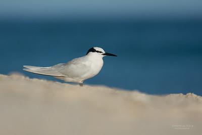 Black-naped Tern, Lady Elliot Island, QLD, Dec 2015-9