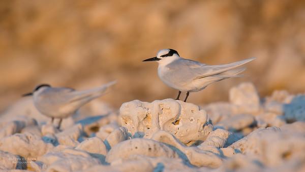 Black-naped Tern, Lady Elliot Island, QLD, Dec 2015-14