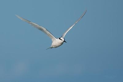 Black-naped Tern, Lady Elliot Island, QLD, Dec 2015-5