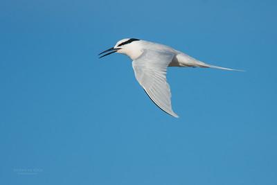 Black-naped Tern, Lady Elliot Island, QLD, Dec 2015-18