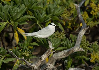 Black-naped Tern, Lady Elliot Island, QLD, Dec 2015-12
