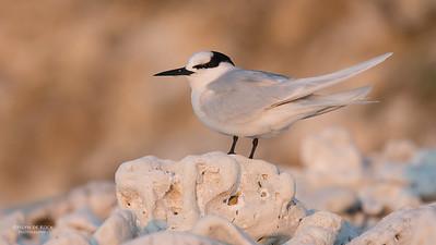 Black-naped Tern, Lady Elliot Island, QLD, Dec 2015-13