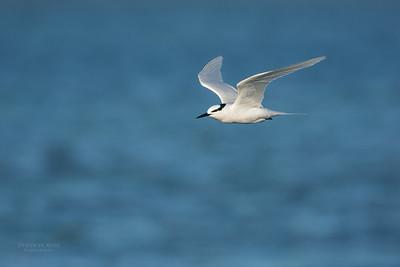 Black-naped Tern, Lady Elliot Island, QLD, Dec 2015-17