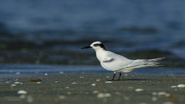 Black-naped Tern, Nandi, Fiji, Dec 2011-1
