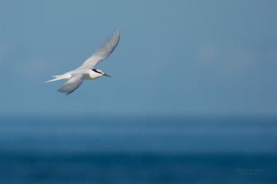 Black-naped Tern, Lady Elliot Island, QLD, Dec 2015-7