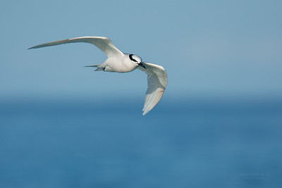 Black-naped Tern, Lady Elliot Island, QLD, Dec 2015-6