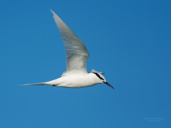 Black-naped Tern, Lady Elliot Island, QLD, Dec 2015-19