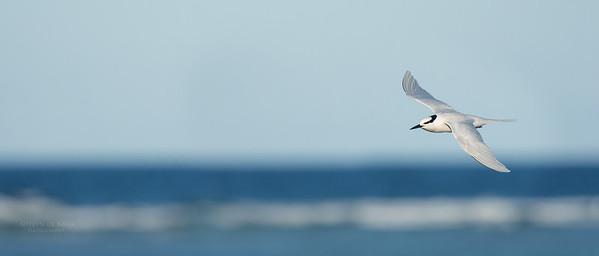 Black-naped Tern, Lady Elliot Island, QLD, Dec 2015-15