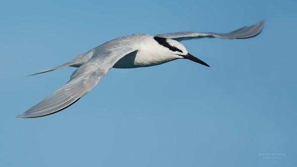 Black-naped Tern, Lady Elliot Island, QLD, Dec 2015-3