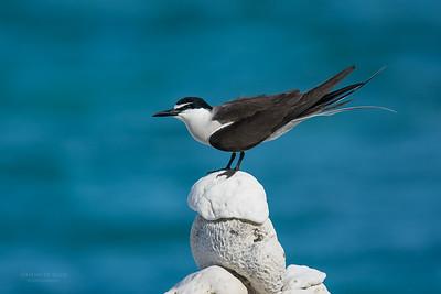 Bridled Tern, Lady Elliot Island, QLD, Dec 2015-14