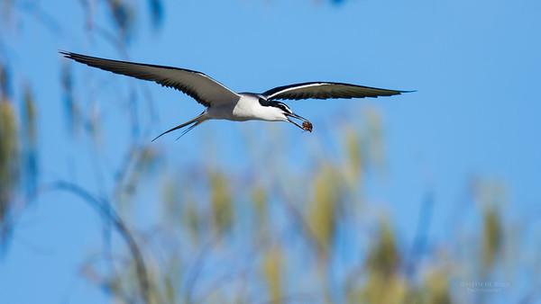 Bridled Tern, Lady Elliot Island, QLD, Dec 2015-3