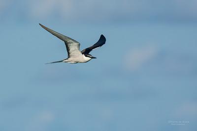 Bridled Tern, Lady Elliot Island, QLD, Dec 2015-15