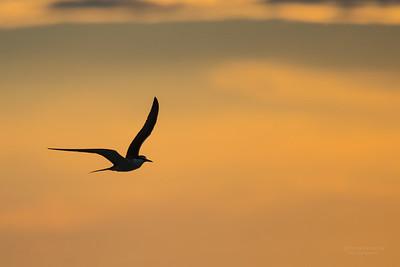Bridled Tern, Lady Elliot Island, QLD, Dec 2015-7
