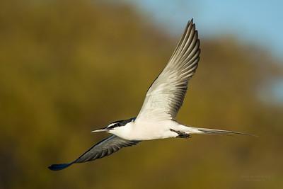 Bridled Tern, Lady Elliot Island, QLD, Dec 2015-5