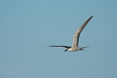 Bridled Tern, Lady Elliot Island, QLD, Dec 2015-11