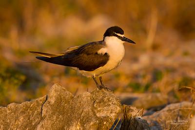 Bridled Tern, Lady Elliot Island, QLD, Dec 2015-1