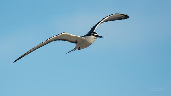 Bridled Tern, Lady Elliot Island, QLD, Dec 2015-4