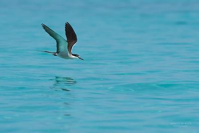 Bridled Tern, Michaelmas Cay, QLD, Dec 2014