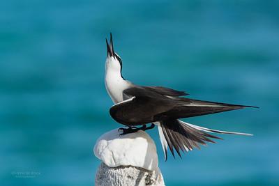 Bridled Tern, Lady Elliot Island, QLD, Dec 2015-12